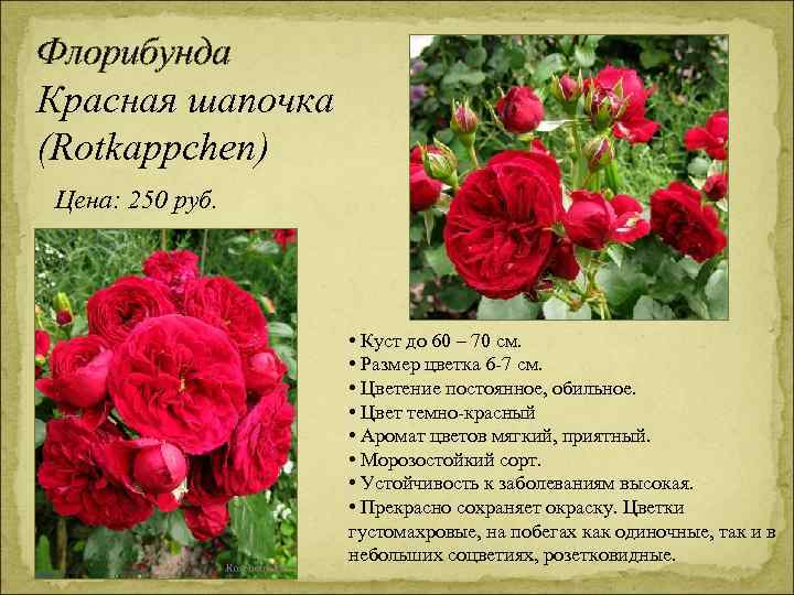 Флорибунда Красная шапочка (Rotkappchen) Цена: 250 руб. • Куст до 60 – 70 см.