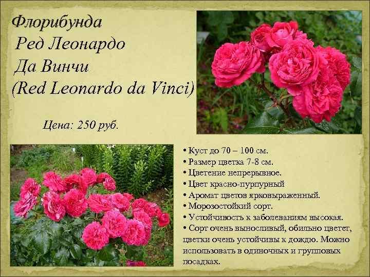 Флорибунда Ред Леонардо Да Винчи (Red Leonardo da Vinci) Цена: 250 руб. • Куст