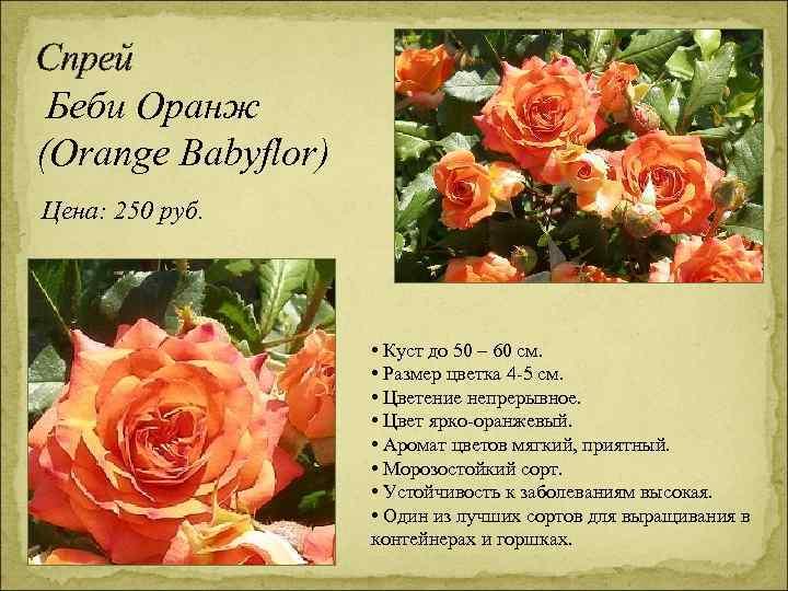 Спрей Беби Оранж (Orange Babyflor) Цена: 250 руб. • Куст до 50 – 60