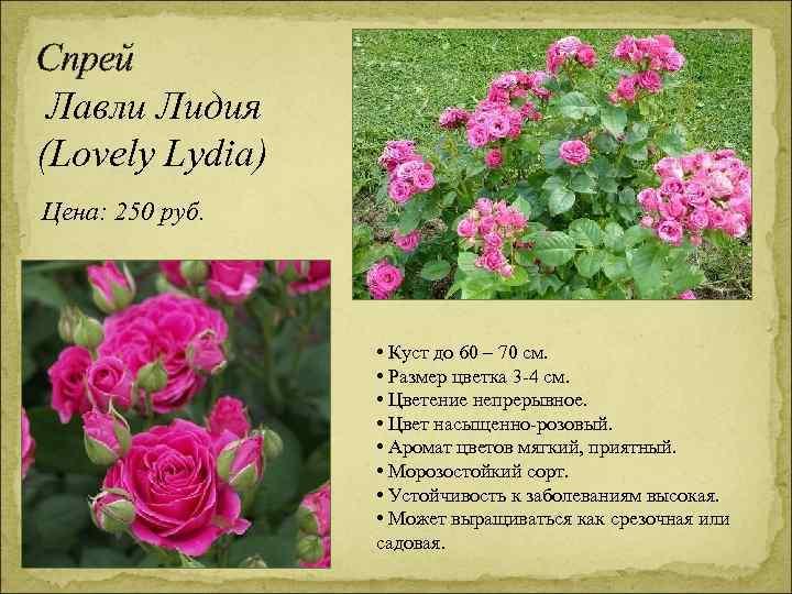 Спрей Лавли Лидия (Lovely Lydia) Цена: 250 руб. • Куст до 60 – 70