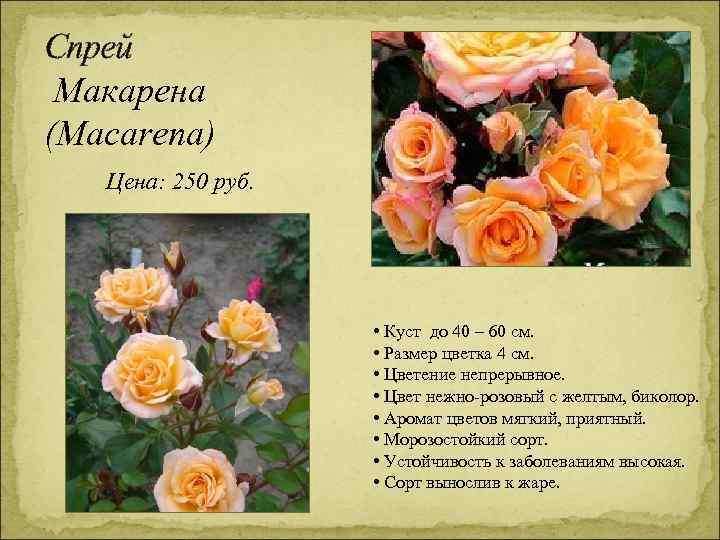 Спрей Макарена (Macarena) Цена: 250 руб. • Куст до 40 – 60 см. •