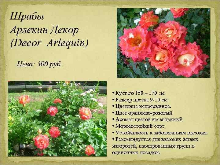 Шрабы Арлекин Декор (Decor Arlequin) Цена: 300 руб. • Куст до 150 – 170