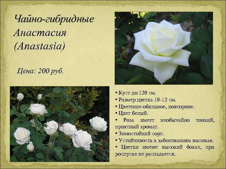 Чайно-гибридные Анастасия (Anastasia) Цена: 200 руб. • Куст до 120 см. • Размер цветка