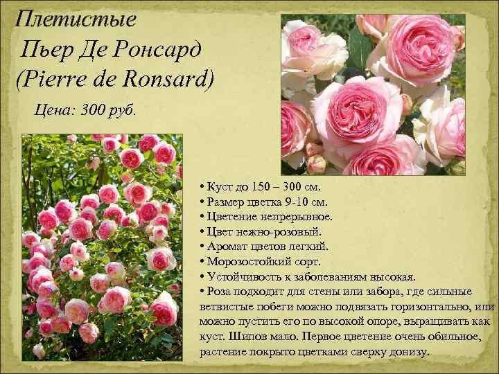 Плетистые Пьер Де Ронсард (Pierre de Ronsard) Цена: 300 руб. • Куст до 150