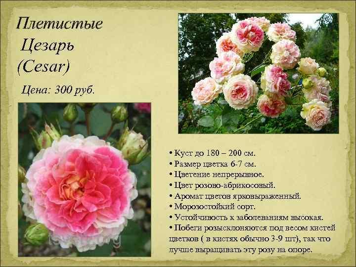 Плетистые Цезарь (Cesar) Цена: 300 руб. • Куст до 180 – 200 см. •
