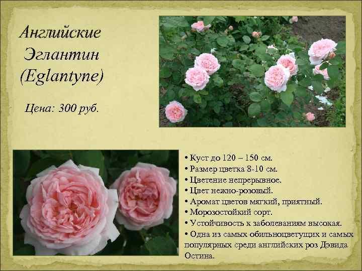 Английские Эглантин (Eglantyne) Цена: 300 руб. • Куст до 120 – 150 см. •