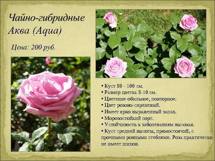 Чайно-гибридные Аква (Aqua) Цена: 200 руб. • Куст 80 - 100 см. • Размер