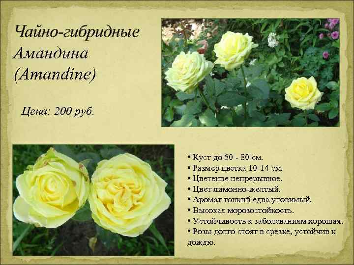 Чайно-гибридные Амандина (Amandine) Цена: 200 руб. • Куст до 50 - 80 см. •