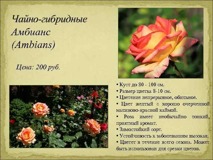 Чайно-гибридные Амбианс (Ambians) Цена: 200 руб. • Куст до 80 - 100 см. •