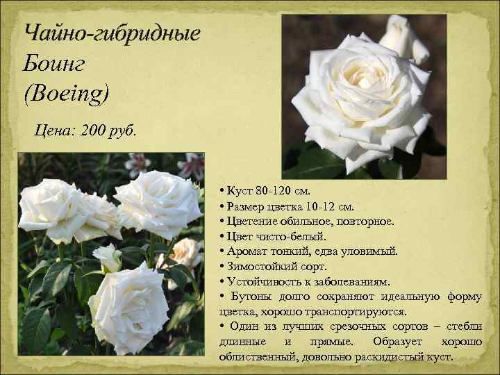 Чайно-гибридные Боинг (Boeing) Цена: 200 руб. • Куст 80 -120 см. • Размер цветка