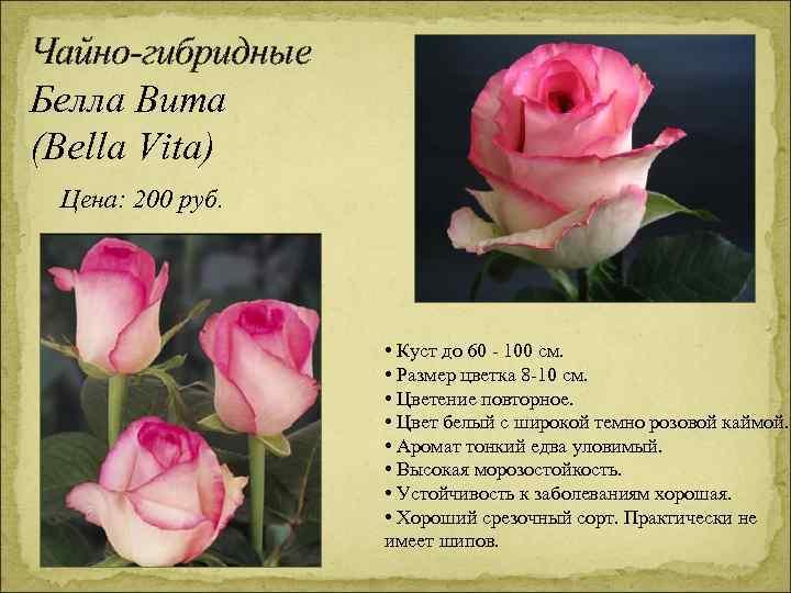 Чайно-гибридные Белла Вита (Bella Vita) Цена: 200 руб. • Куст до 60 - 100
