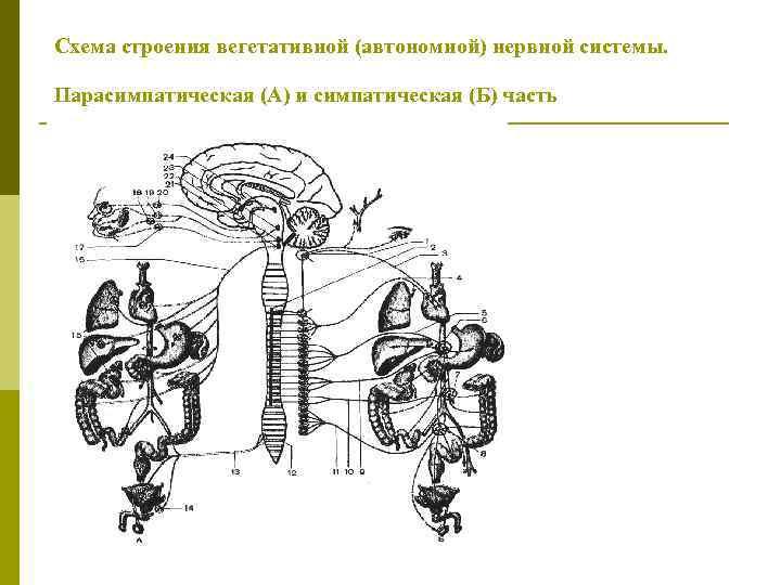 Схема строения вегетативной (автономной) нервной системы. Парасимпатическая (А) и симпатическая (Б) часть