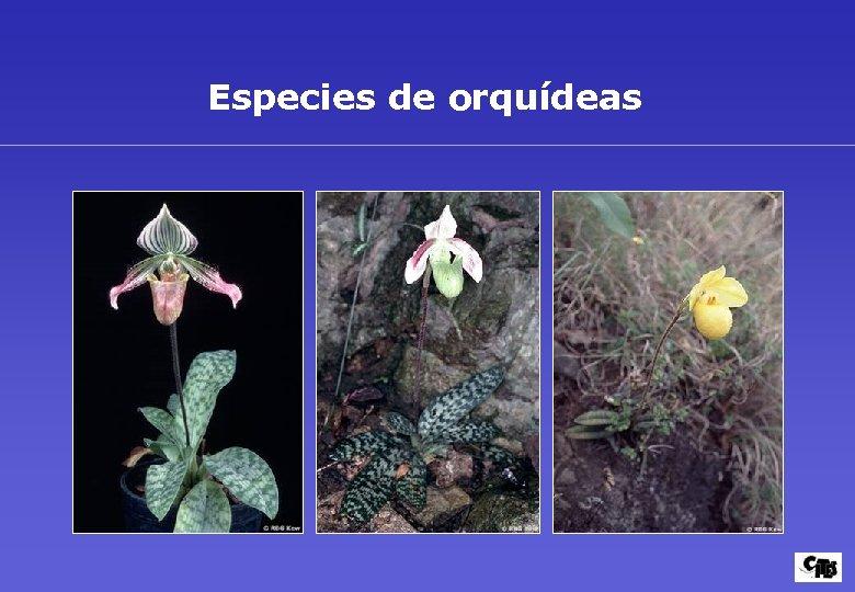 Especies de orquídeas