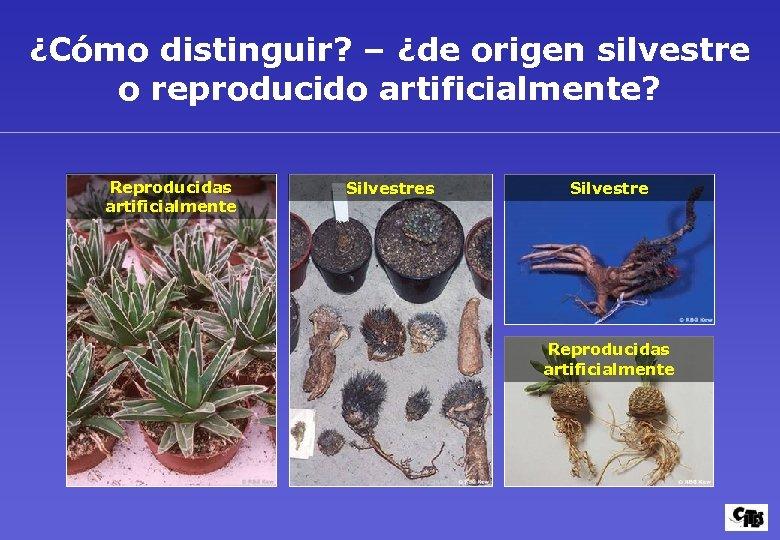 ¿Cómo distinguir? – ¿de origen silvestre o reproducido artificialmente? Reproducidas artificialmente Silvestres Silvestre Reproducidas