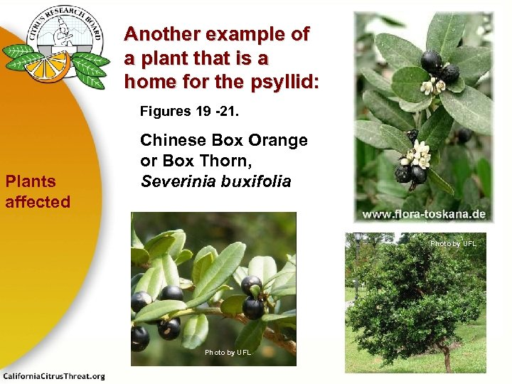 Another example of a plant that is a home for the psyllid: Figures 19