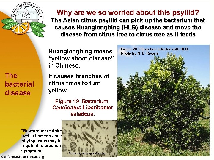 Why are we so worried about this psyllid? The Asian citrus psyllid can pick