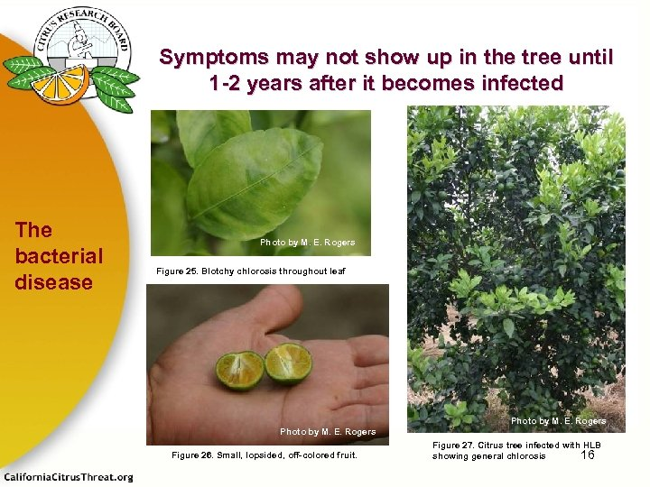 Symptoms may not show up in the tree until 1 -2 years after it