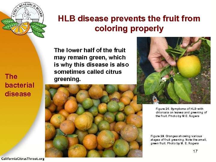 HLB disease prevents the fruit from coloring properly The bacterial disease The lower half