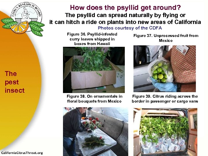How does the psyllid get around? The psyllid can spread naturally by flying or