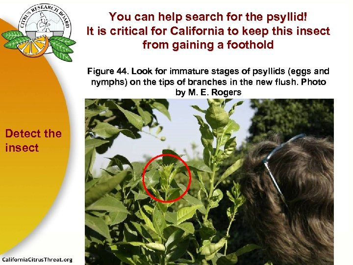 You can help search for the psyllid! It is critical for California to keep