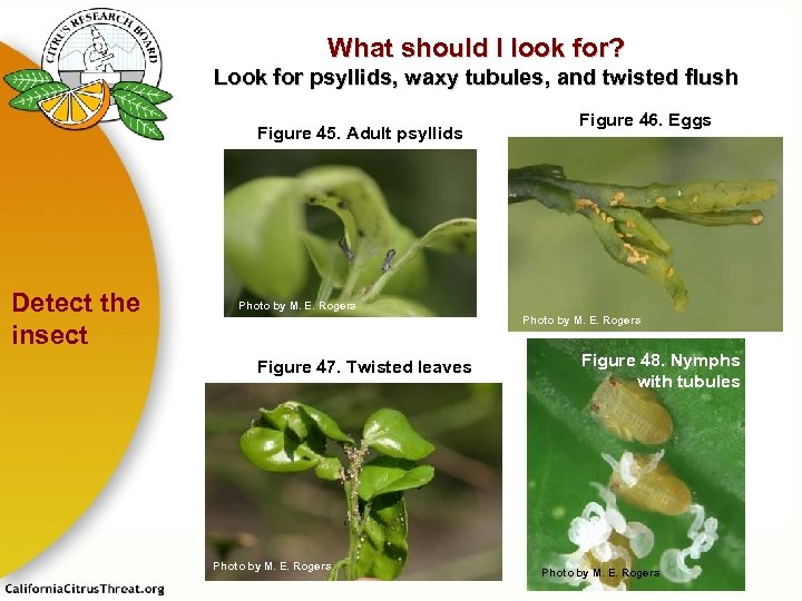 What should I look for? Look for psyllids, waxy tubules, and twisted flush Figure