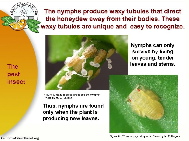 The nymphs produce waxy tubules that direct the honeydew away from their bodies. These