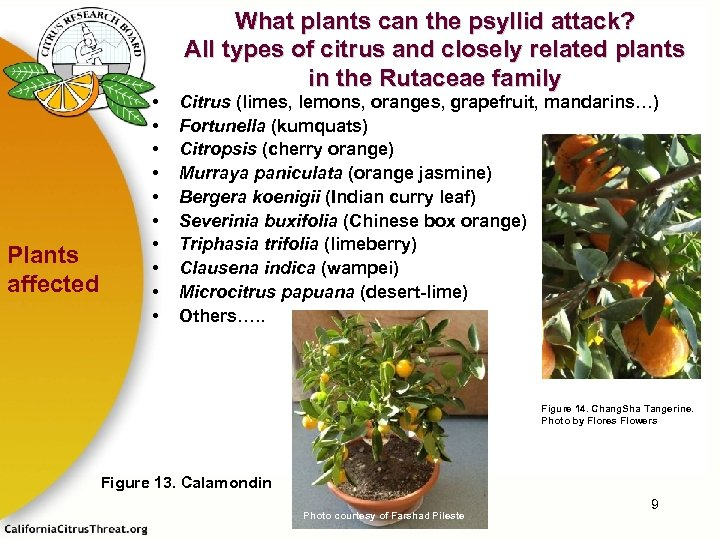 Plants affected • • • What plants can the psyllid attack? All types of