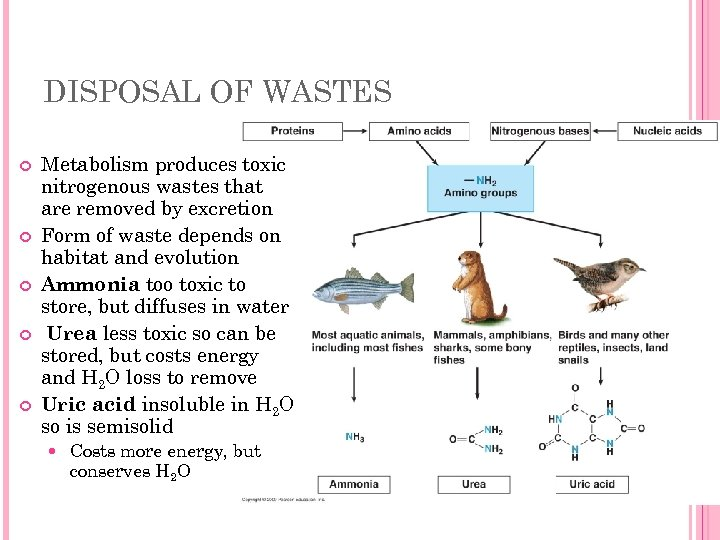 DISPOSAL OF WASTES Metabolism produces toxic nitrogenous wastes that are removed by excretion Form