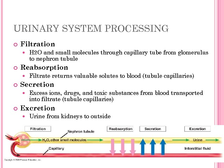 URINARY SYSTEM PROCESSING Filtration Reabsorption Filtrate returns valuable solutes to blood (tubule capillaries) Secretion