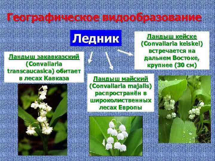 Географическое видообразование Ледник Ландыш закавказский (Convallaria transcaucasica) обитает в лесах Кавказа Ландыш кейске (Convallaria