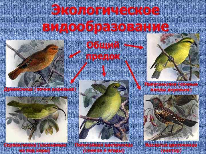 Экологическое видообразование Общий предок Древесница (почки деревьев) Попугаеклюв (сочные плоды деревьев) Серпоклювка (насекомые из