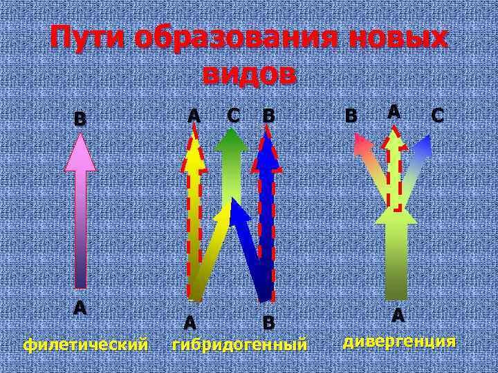 Пути образования новых видов В А филетический А А С В В гибридогенный В