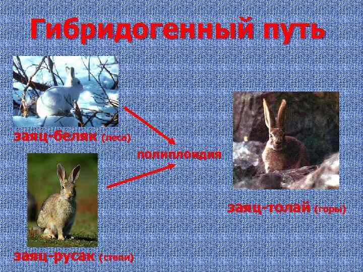 Гибридогенный путь заяц-беляк (леса) полиплоидия заяц-толай (горы) заяц-русак (степи)
