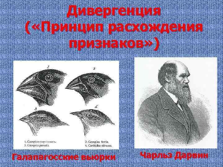 Дивергенция ( «Принцип расхождения признаков» ) Галапагосские вьюрки Чарльз Дарвин