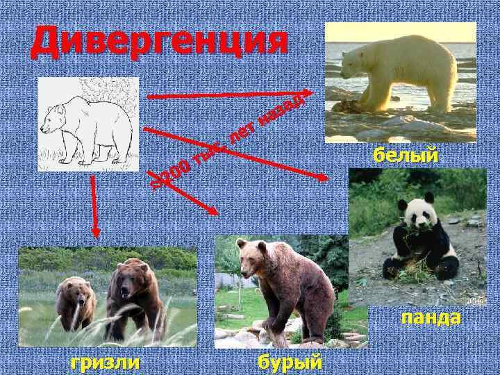 Дивергенция ет л с. ты 00 ≈2 д за на белый панда гризли бурый
