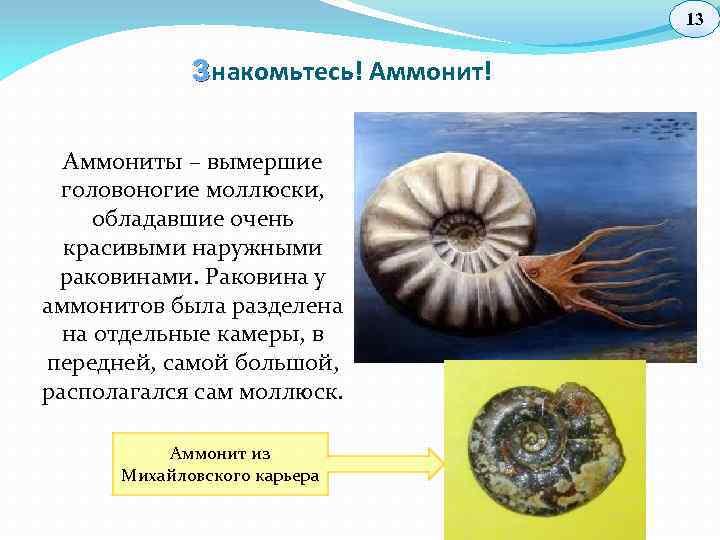 13 З накомьтесь! Аммониты – вымершие головоногие моллюски, обладавшие очень красивыми наружными раковинами. Раковина