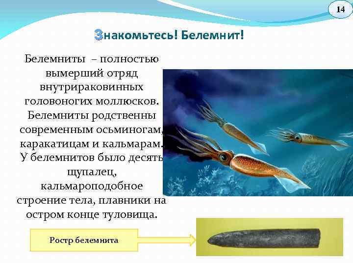 14 З накомьтесь! Белемниты – полностью вымерший отряд внутрираковинных головоногих моллюсков. Белемниты родственны современным