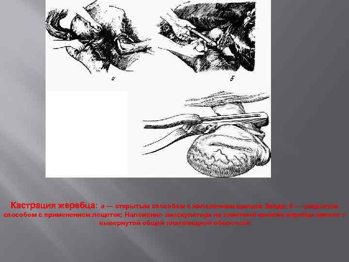 Кастрация жеребца: а — открытым способом с наложением щипцов Занда; б — закрытым способом