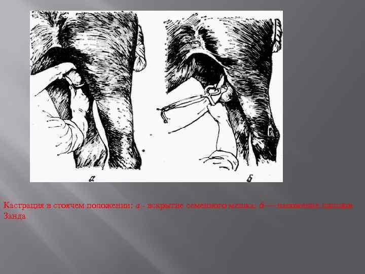 Кастрация в стоячем положении: а - вскрытие семенного мешка: 6 — наложение щипцов Занда
