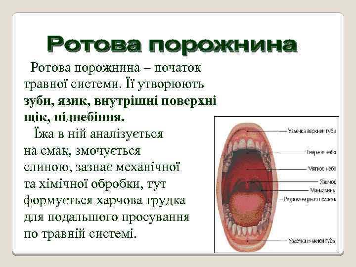 Ротова порожнина – початок травної системи. Її утворюють зуби, язик, внутрішні поверхні щік, піднебіння.