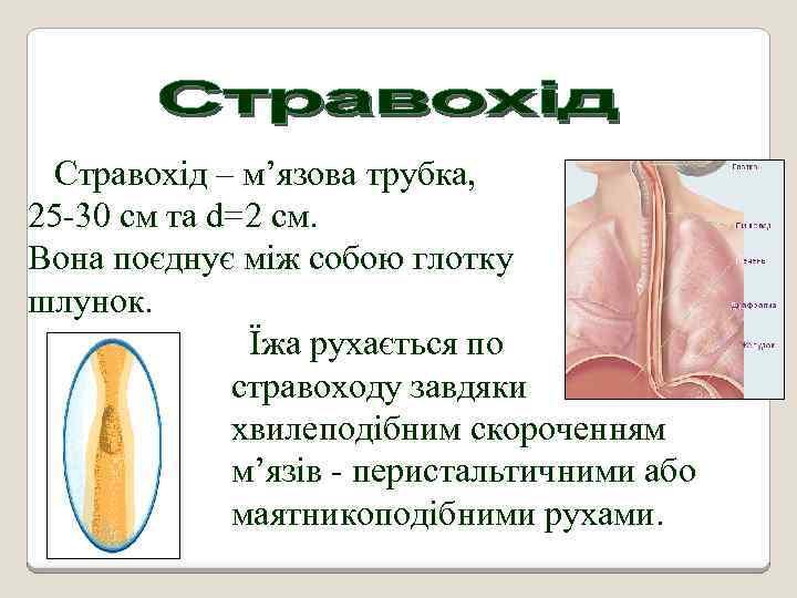 Стравохід – м'язова трубка, довжиною 25 -30 cм та d=2 см. Вона поєднує між