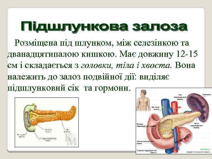 Розміщена під шлунком, між селезінкою та дванадцятипалою кишкою. Має довжину 12 -15 см і
