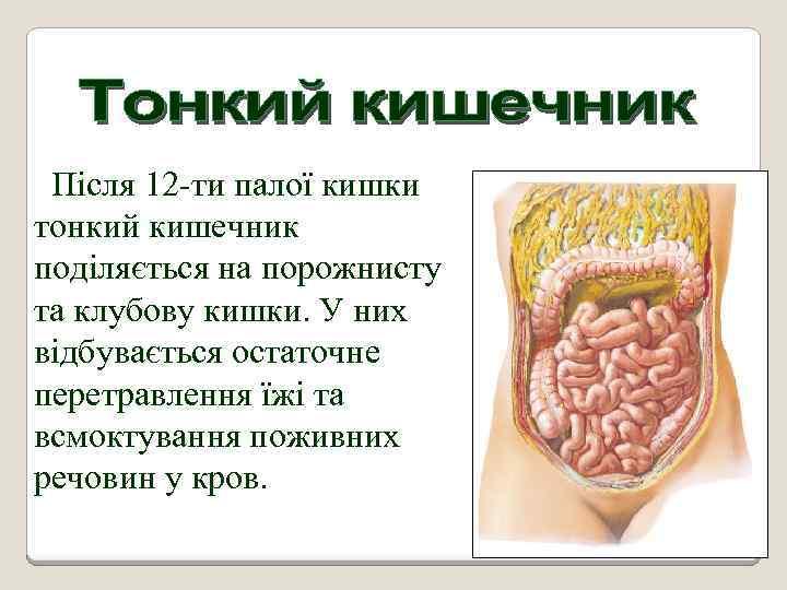 Після 12 -ти палої кишки тонкий кишечник поділяється на порожнисту та клубову кишки. У