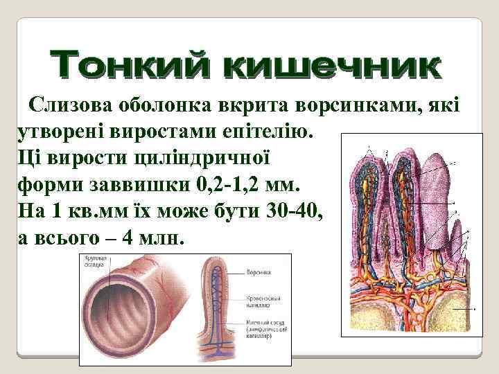 Слизова оболонка вкрита ворсинками, які утворені виростами епітелію. Ці вирости циліндричної форми заввишки 0,