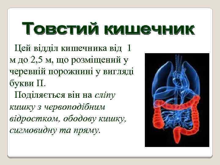 Цей відділ кишечника від 1 м до 2, 5 м, що розміщений у черевній