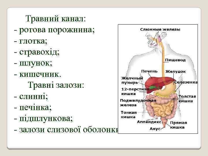 Травний канал: - ротова порожнина; - глотка; - стравохід; - шлунок; - кишечник. Травні