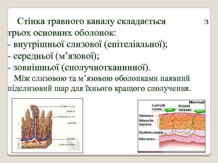 Стінка травного каналу складається трьох основних оболонок: - внутрішньої слизової (епітеліальної); - середньої (м'язової);