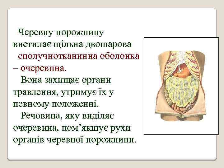 Черевну порожнину вистилає щільна двошарова сполучнотканинна оболонка – очеревина. Вона захищає органи травлення, утримує