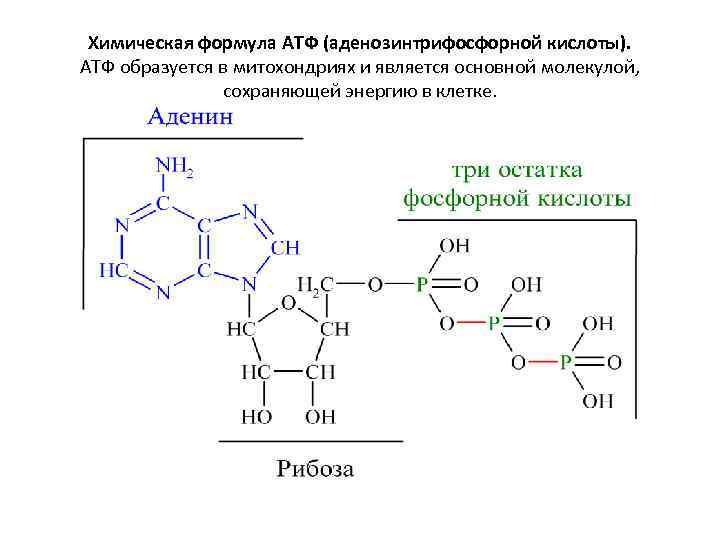 Химическая формула АТФ (аденозинтрифосфорной кислоты). АТФ образуется в митохондриях и является основной молекулой, сохраняющей
