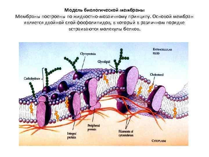 Модель биологической мембраны Мембраны построены по жидкостно-мозаичному принципу. Основой мембран является двойной слой фосфолипидов,